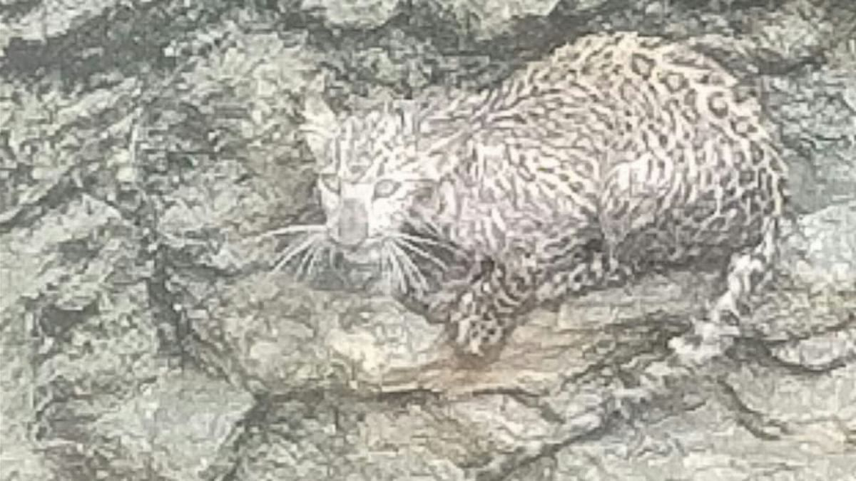 Madhya Pradesh: Villagers in Gandhwani rescue leopard cub by draining water from well