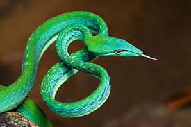 Pune: Researchers find two new multi drug-resistant bacteria in scat of 'vine snake'