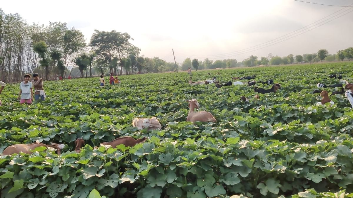 Barwani: Farmers let sheep graze their farms as they are unable to recover produce cost