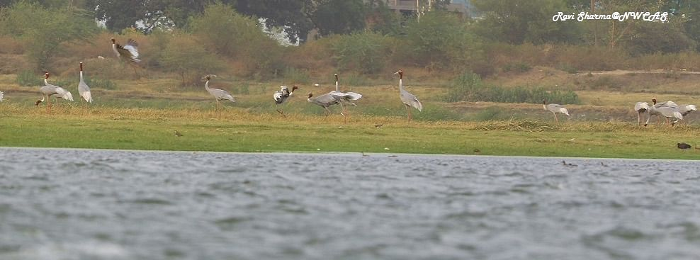 Indore: Bird lovers worried over slow rise in Sarus pop at Yeshwant Sagar