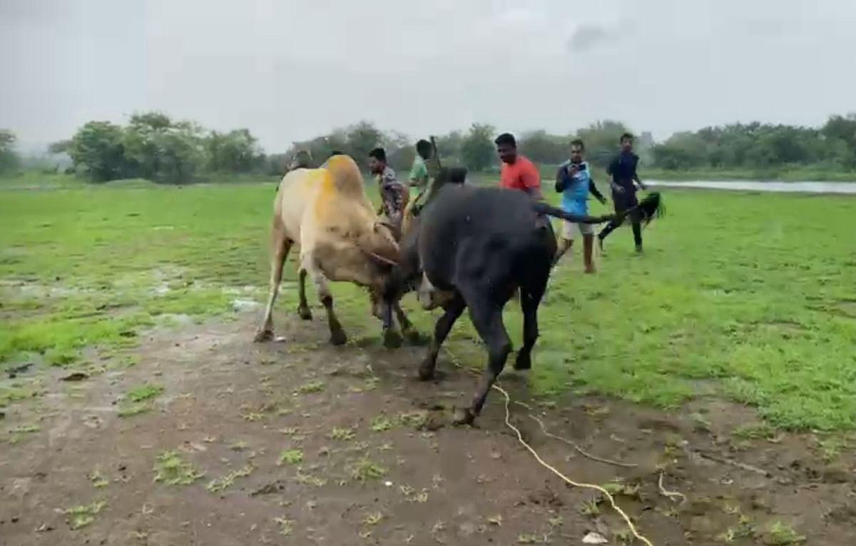 Dombivli: Two men booked for organising deadly bullfight in Vishnu Nagar