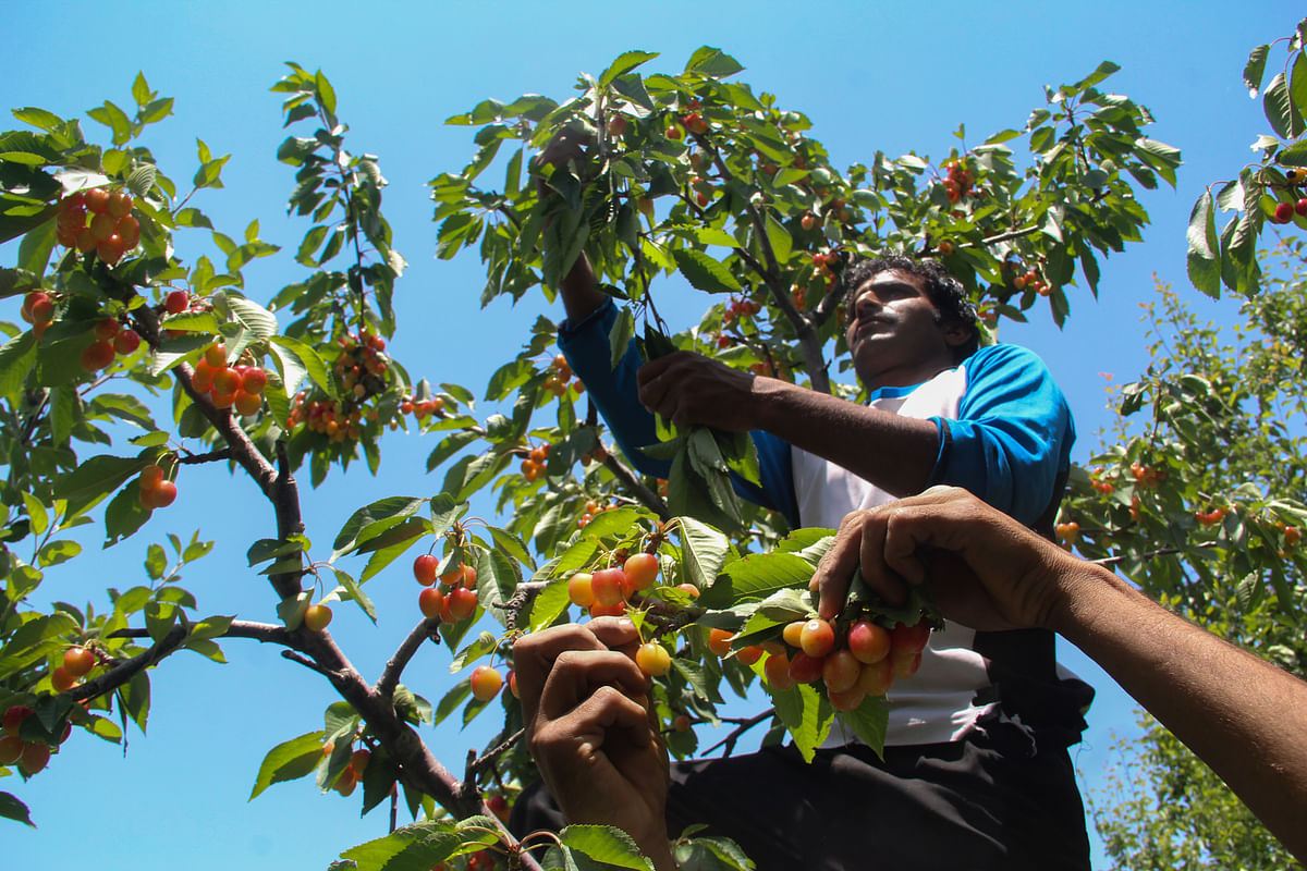 Young Kashmiri farmers pluck cherries from a tree in an orchard in a village located in the Tangmarg area of district Baramulla in Jammu & Kashmir.
