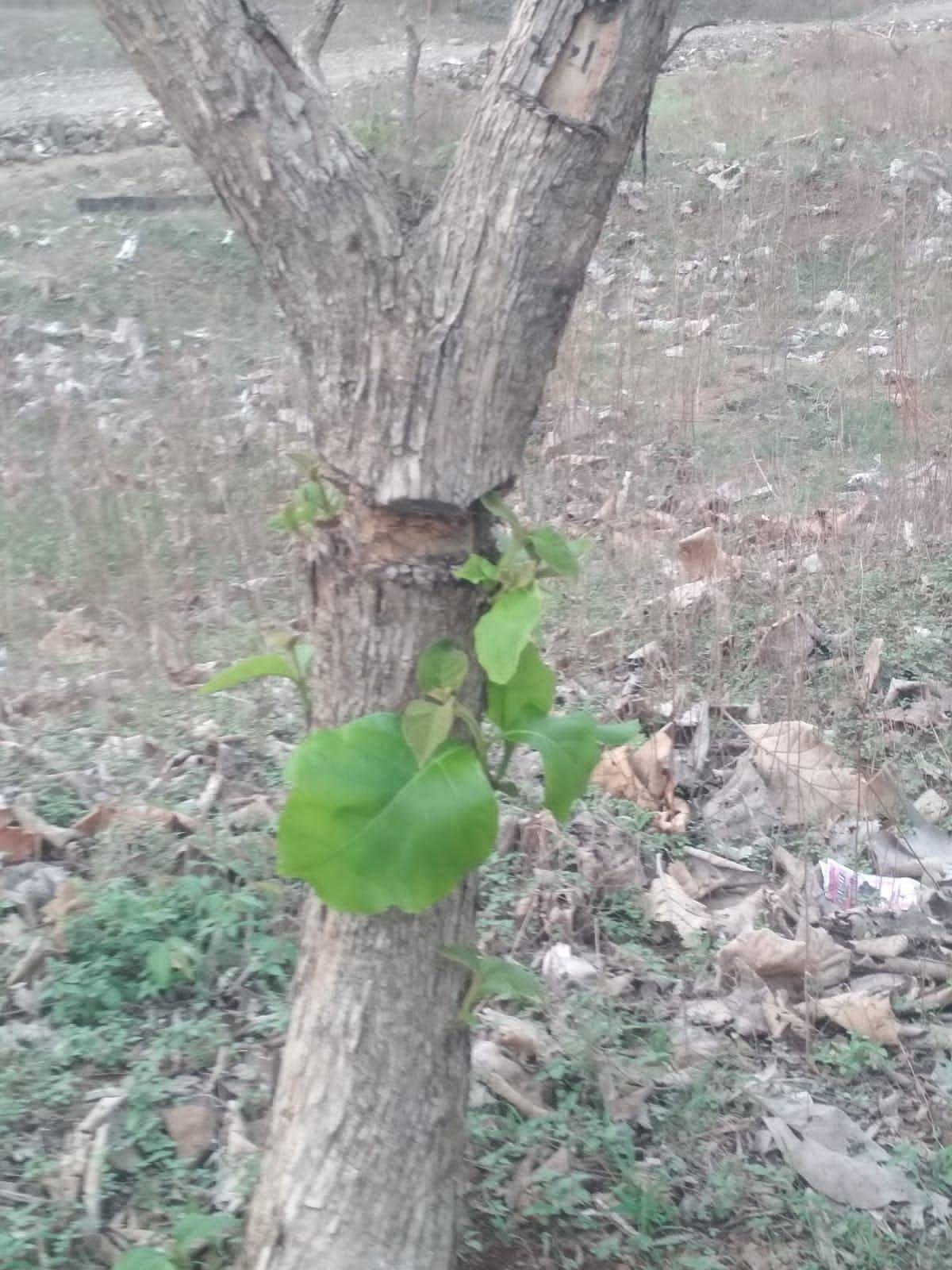 Indore: Sagwan, Shisham trees cut in Gajinda and Gavalu forest area; Timber mafia has once again become active in Choral