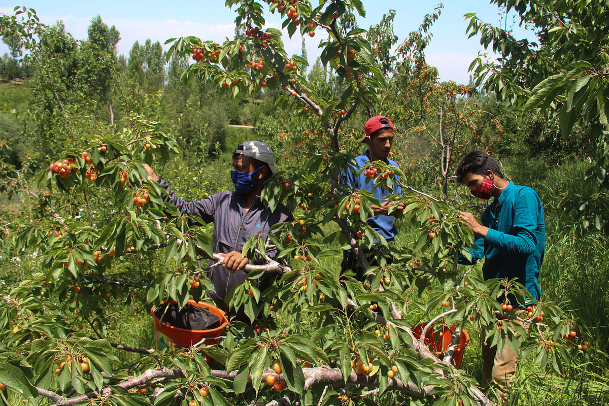 Young Kashmiri farmers pluck cherries from trees and collect them in baskets at an orchard in a village in Tangmarg area of district Baramulla in Jammu & Kashmir.