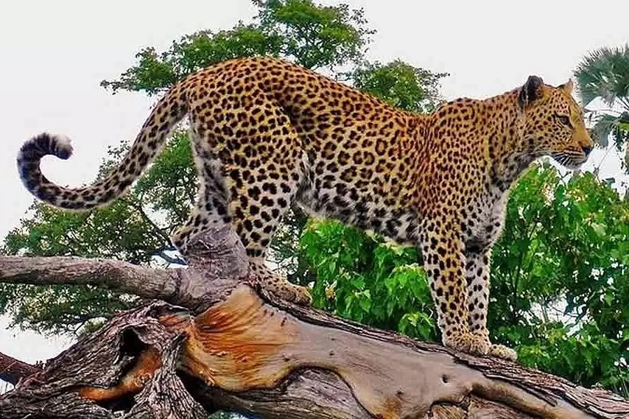 Leopards now rein in Tiger s Palamu abode, once credited with world's 1st tiger census