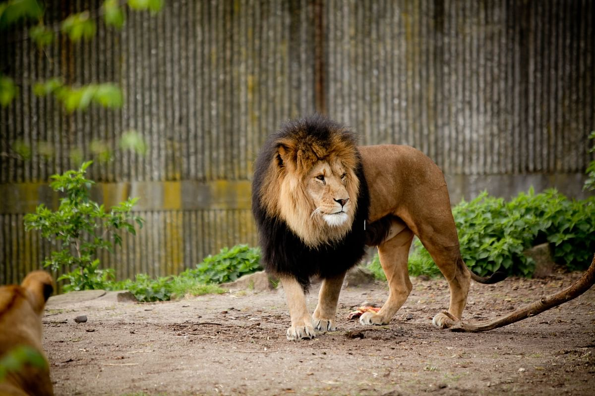 Tamil Nadu: Another lion dies of COVID-19 in Chennai's Arignar Anna Zoological Park
