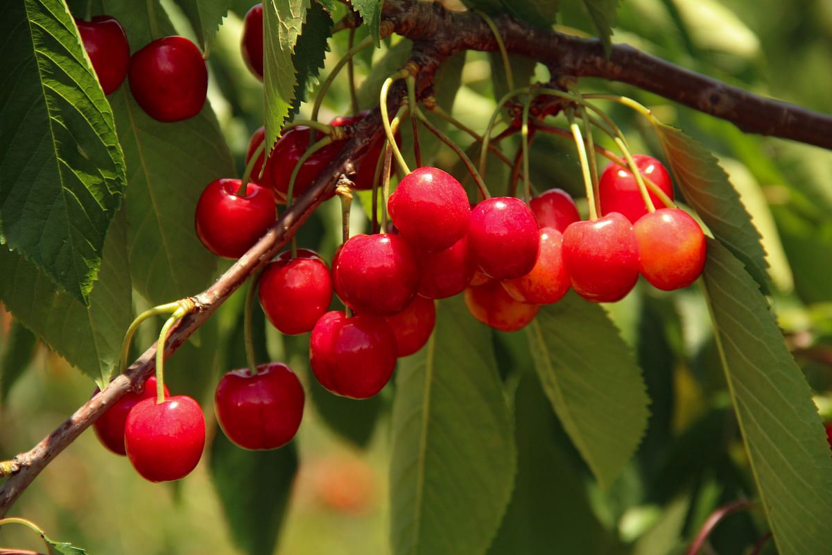 Ripe cherries harvested in June at an orchard in the Tangmarg area of Baramulla district in Jammu & Kashmir.