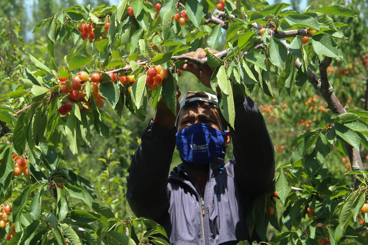 A Kashmiri farmer plucks cherries from a tree in an orchard located in a village in Tangmarg area of district Baramulla in Jammu & Kashmir.