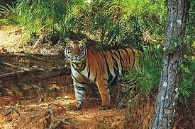 All felines in Ranchi zoo put to Covid test post tiger Shiva's death