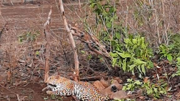 Leopard trapped in a fence laid around an agriculture field in Raisen