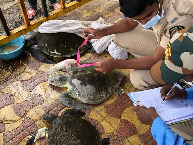 Mumbai: Two Olive Ridley and one Hawksbill turtle rescued at Juhu beach