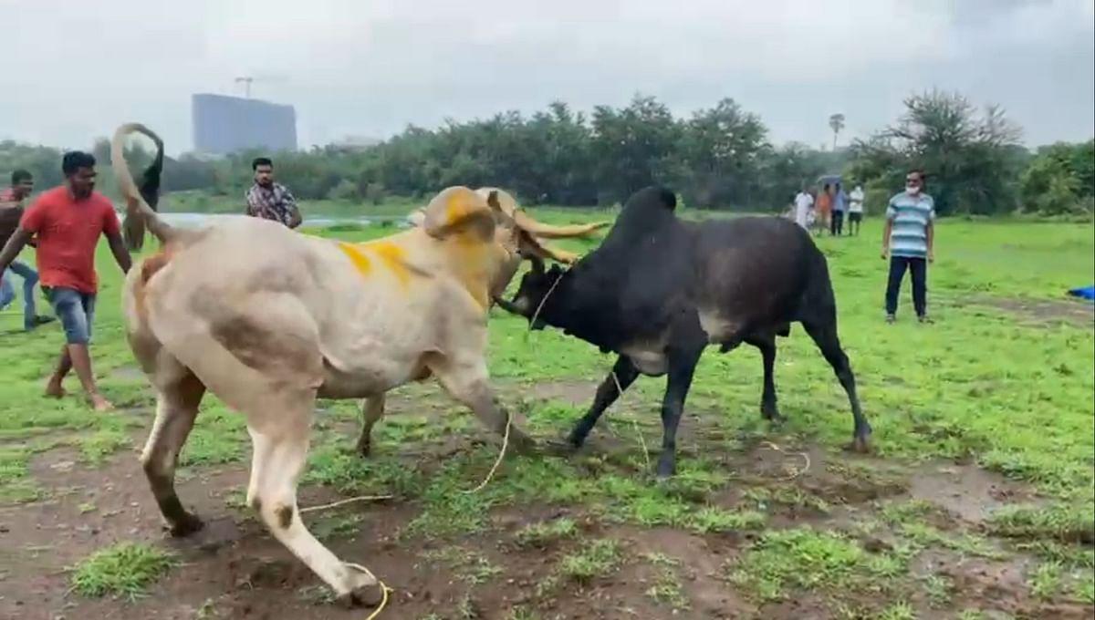 Mumbai: Two booked for organising bullfight in Dombivali