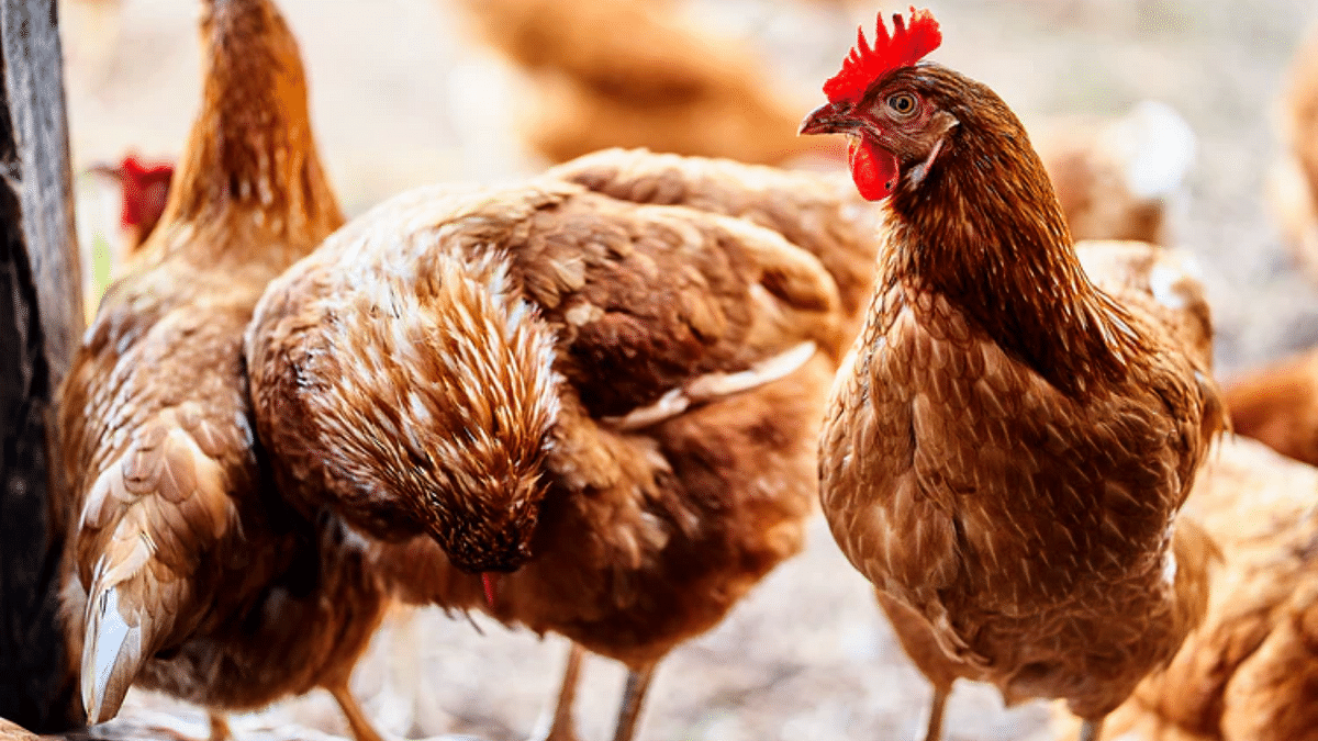 Bird flu cases detected at poultry farm in Iraq's Diyala