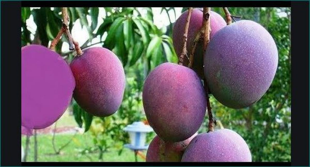 Madhya Pradesh: Couple deploys guards, watchdogs to protect world's most expensive mangoes
