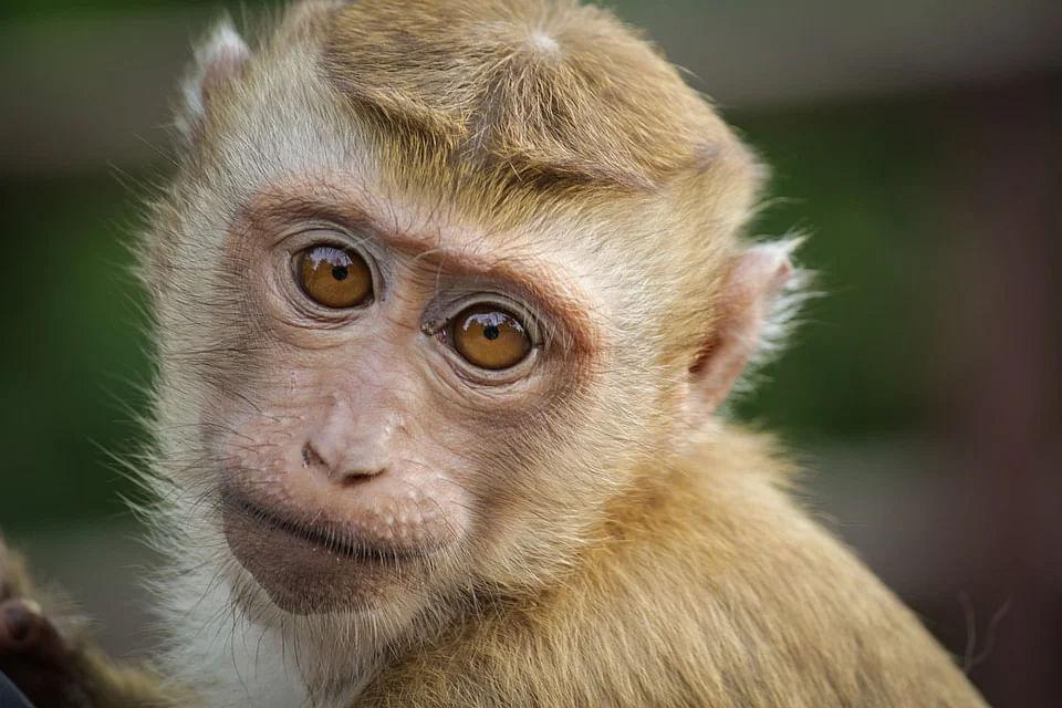Maharashtra: Two monkeys found dead in Thane