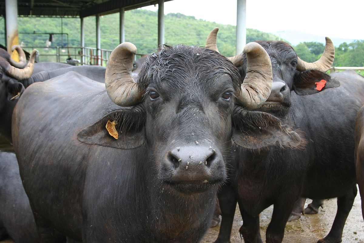 Nagda: CM Helpline didn't support, says dead buffaloes' owner struggling to get compensation for last 2 years