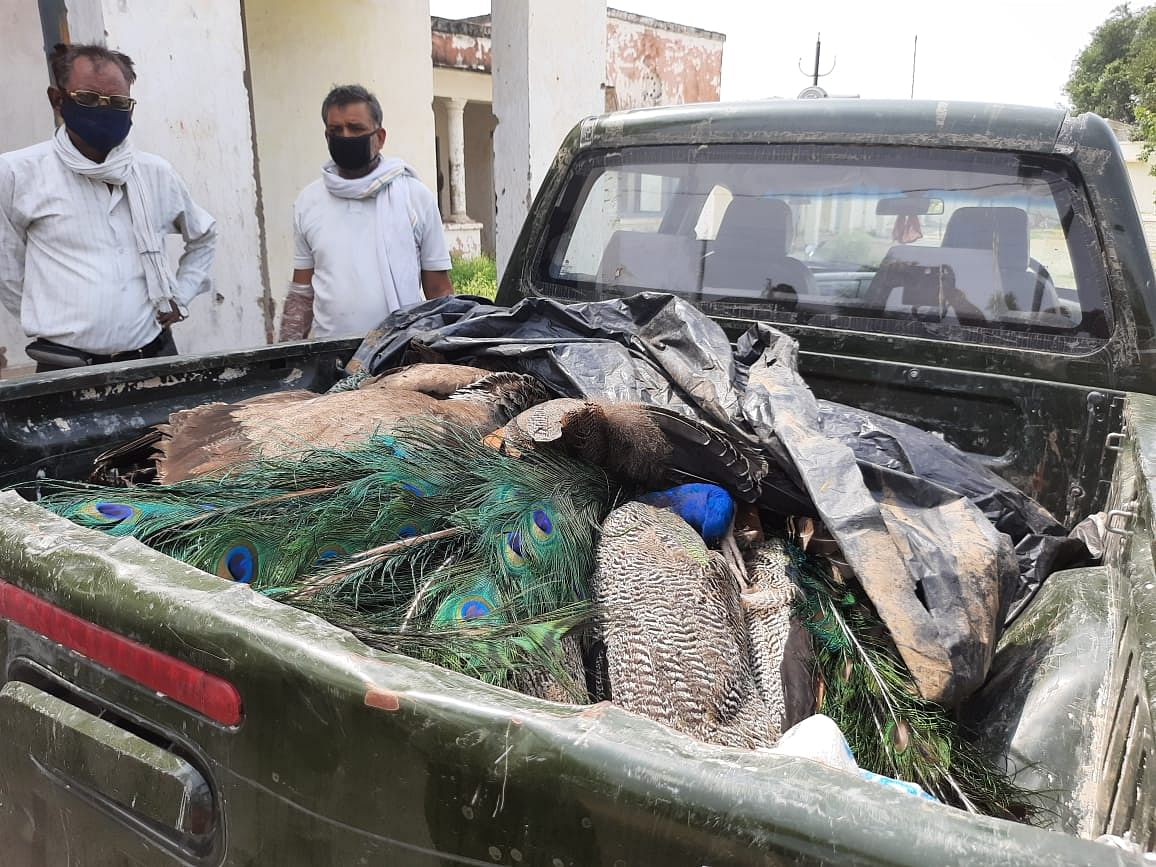 Morena: 42 peacocks found dead in four days, poaching suspected