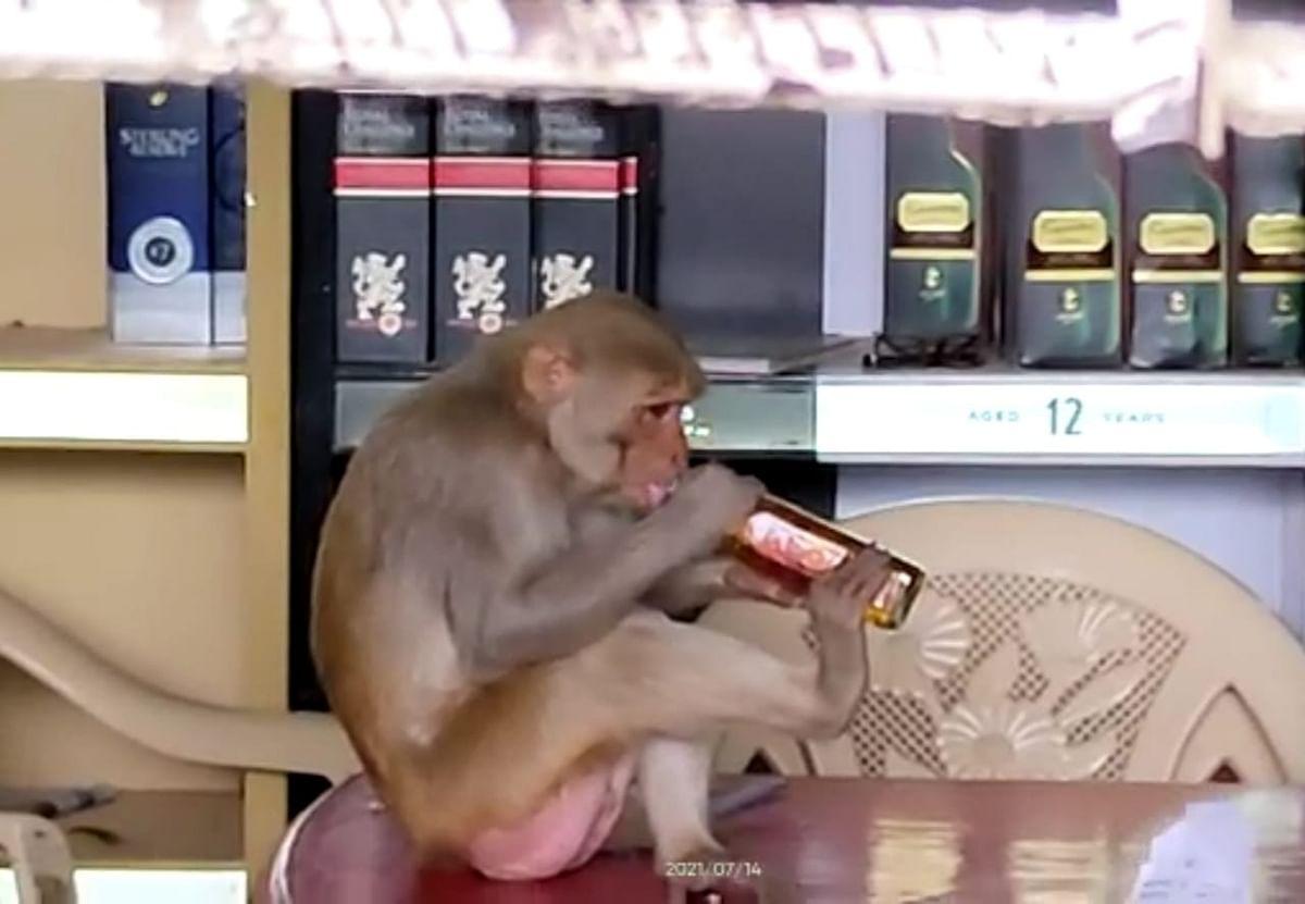 High on liquor: Monkey consumes whisky like a virtuoso, has been regular at shop in Madhya Pradesh's Mandla district