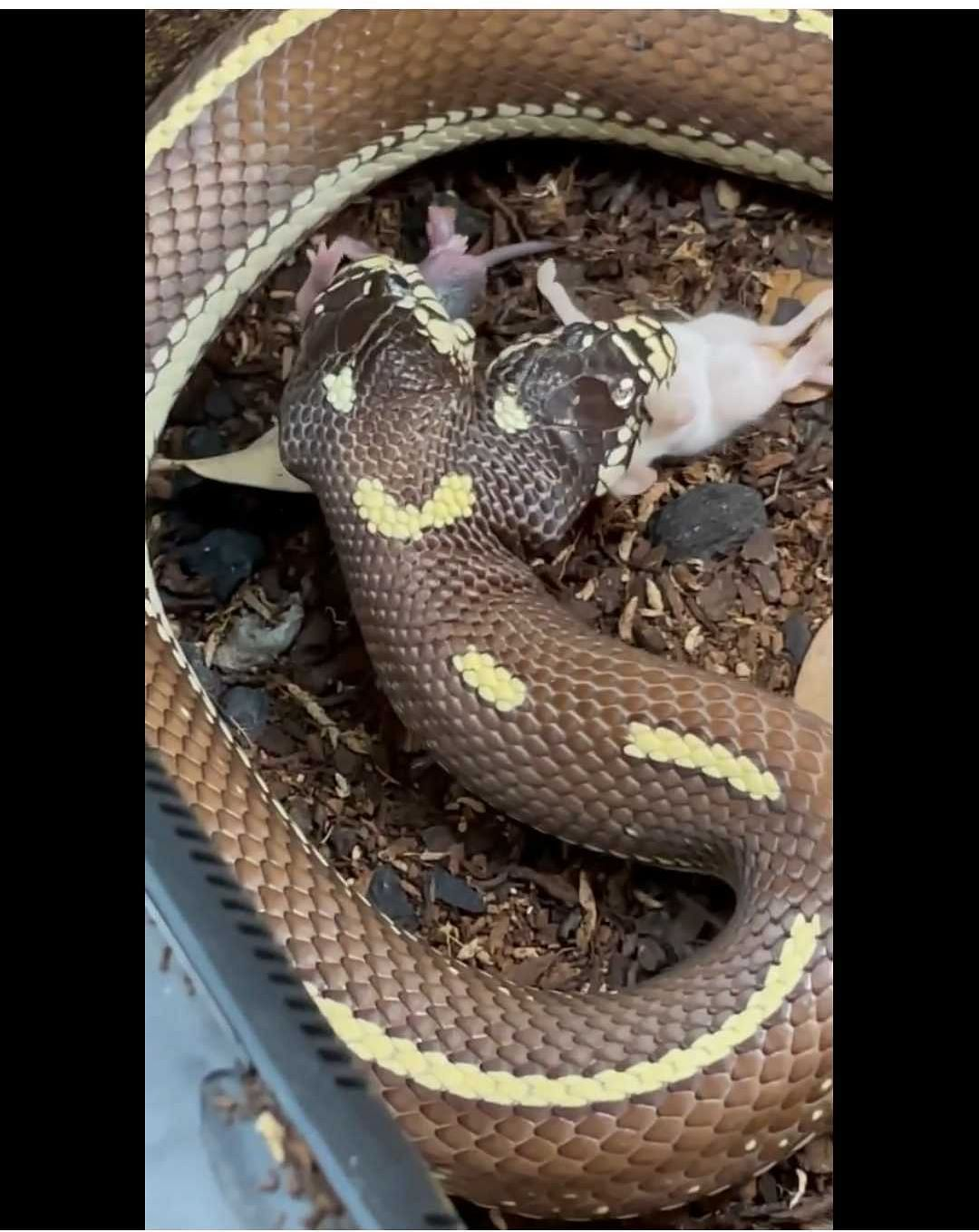 Watch Video: Two-headed snake eats two mice simultaneously