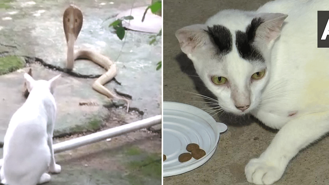 'Showing this to my dogs and shaming them': Twitter awed as cat stands guard to protect family from cobra in Odisha