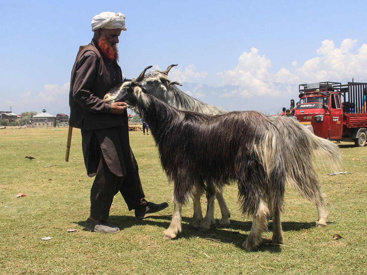 A Kashmiri shepherd holds a sacrificial goats at a livestock market ahead of Muslim festival Eid al-Adha in Srinagar, Saturday, July 18, 2021.