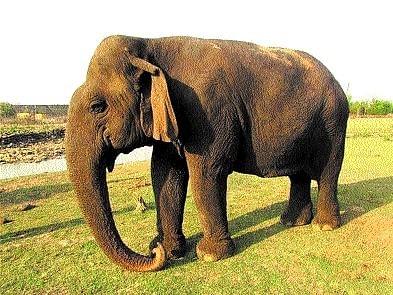 Madhya Pradesh: Condition of 'world's oldest' female elephant Vatsala improving