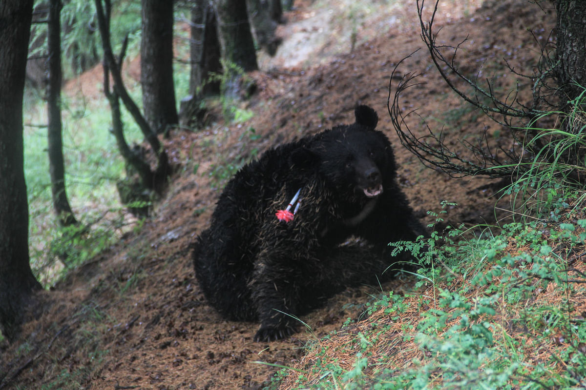 A black bear was tranquilised by wildlife officials after it strayed alongwith its two cubs into the Dardpora village in northern Kashmir's Baramulla district on July 13, 2021.