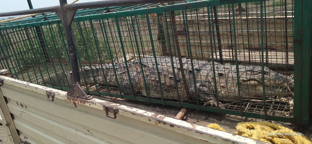 Madhya Pradesh: Crocodile weighing 200 kg rescued from Manasa