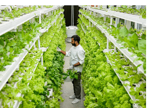 UrbanKisaan operates several suburban greenhouses and vertical indoor farms in Hyderabad and Bangalore