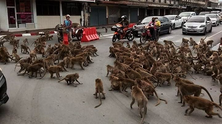 Monkey business: Clash between rival primate groups bring traffic to a screeching halt in Thailand; watch video