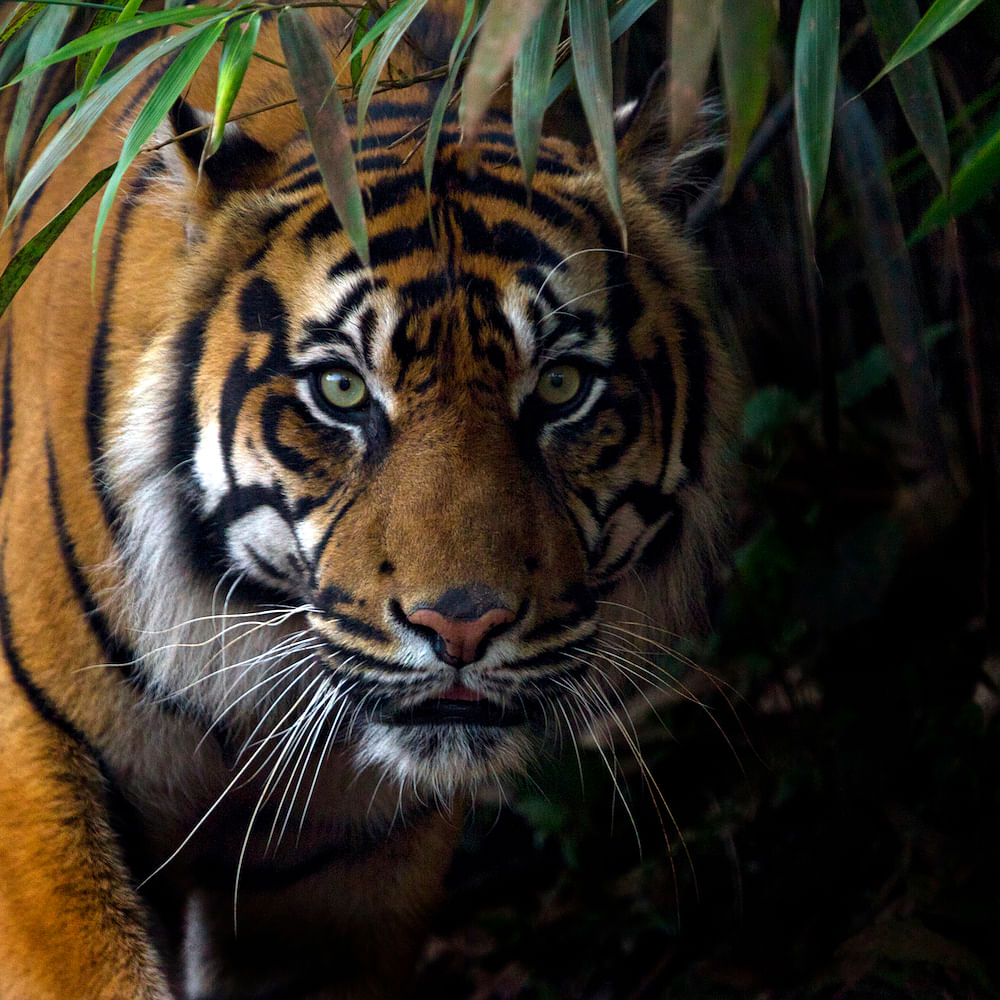 International Tiger Day 2021: History, Significance and 10 Famous Tiger Reserves in India