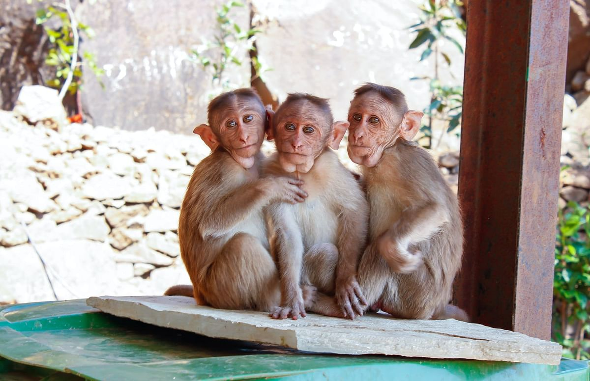 Shocking! 38 monkeys poisoned, stuffed into gunny bags and beaten to death in Karnataka's Hassan district