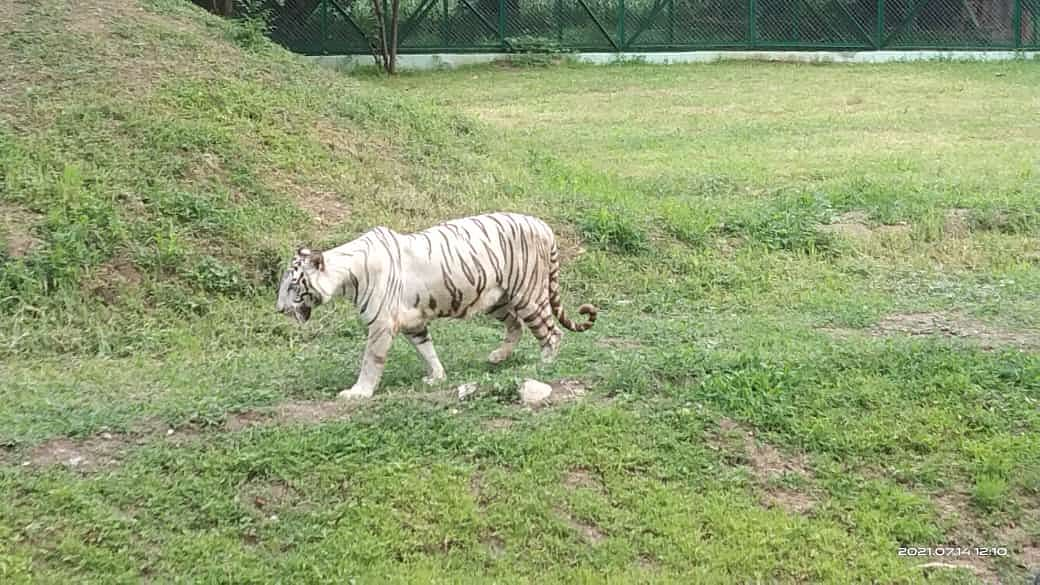 The royal white tigress Ragini roams free in city zoo in her new home after being released on Wednesday morning.
