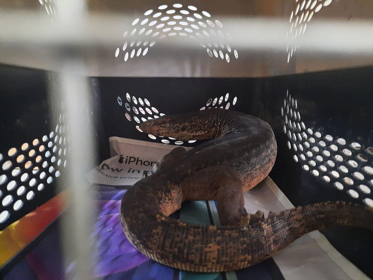 Mumbai: 3.5-ft-long monitor lizard rescued