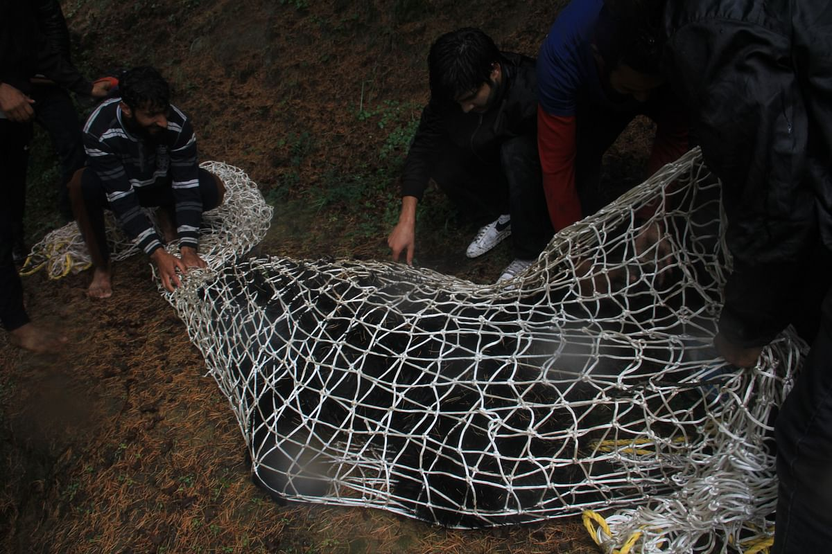 Locals and officials from the Wildlife department tie up the tranquilised  bear who strayed into the Dardpora village in northern Kashmir's Baramulla district on July 13, 2021.