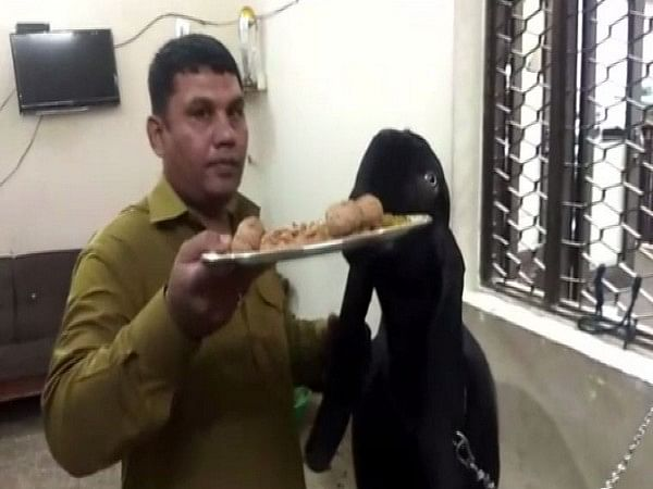 Moin Khan feeding his black goat
