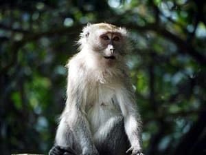 Monkeys in Asia harbour viruses from humans