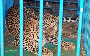 Leopard trapped by forest  officials near Chandrapur