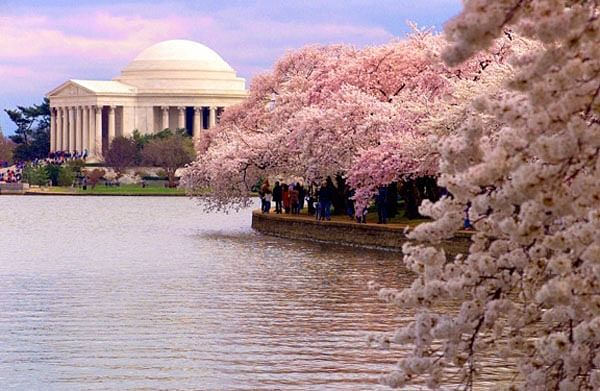Cherry blossoms blooming earlier due to global warming: US
