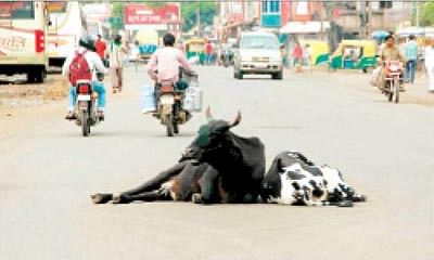Stray cattle making life difficult for commuters