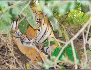 Tiger spotted in region