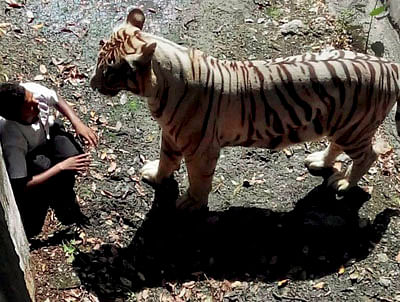 Tiger mauls youth, guards just watch!