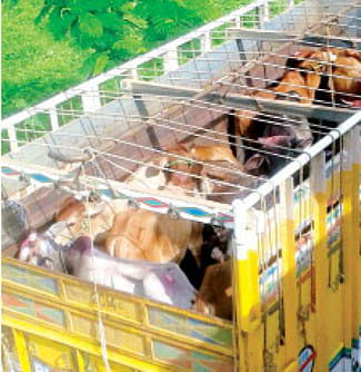 Gauraksha Samiti catches a consignment of 125 cows