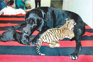 Cub gets a stepmother in she dog