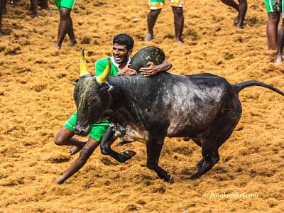 Bull-taming sport stayed, Jaya seeks an Ordinance