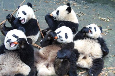 Giant Panda population goes up to over 1900: Survey