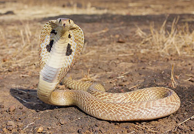 Snakes evolved on land 128 million years ago