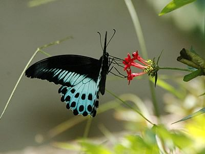 Blue mormon is now the 'State Butterfly'
