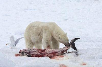 Polar bear seen eating dolphins