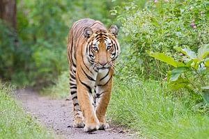 Rising sea  levels pose threat to Royal Bengal Tiger